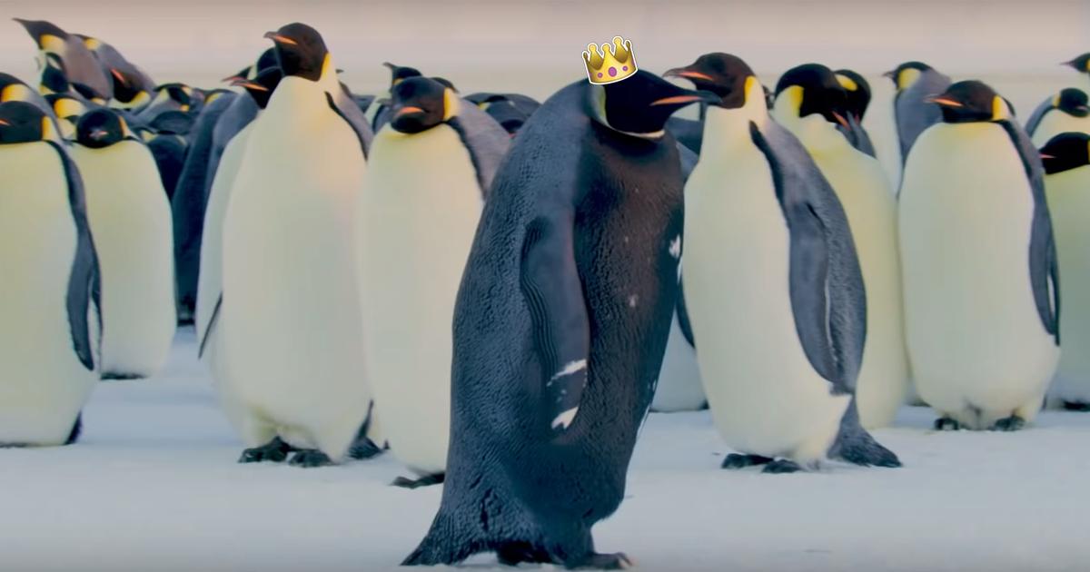 Чорного імператорського пінгвіна вперше зняли на камеру. Він може бути  єдиним у світі  b037fb03534dc